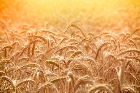 Красивое поле пшеницы в летний период - время сбора урожая