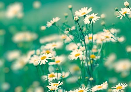 soft focus: El enfoque suave en las flores de margarita