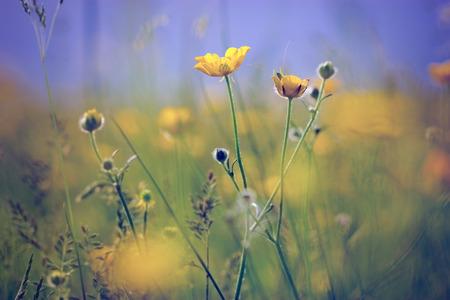 buttercup: Little yellow meadow flowers - buttercup