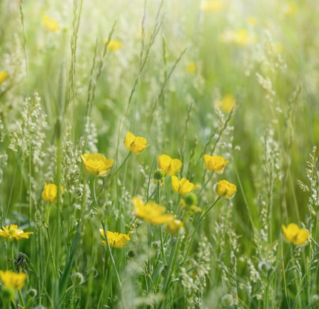 buttercup: Meadow flowers in grass - buttercup springtime
