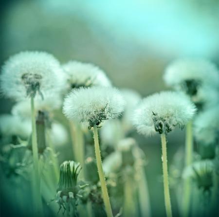 blowball: Fluffy blowball - dandelion seeds Stock Photo