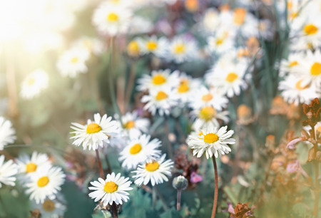 Meadow flowers in spring - daisy flowers Imagens