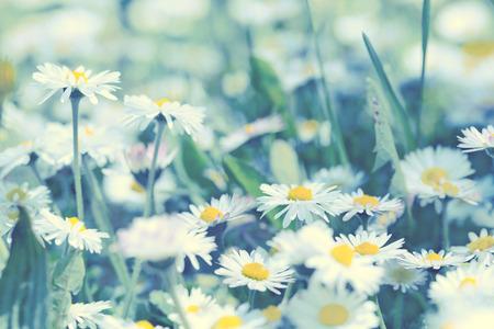daisy stem: Daisy flowers in early spring