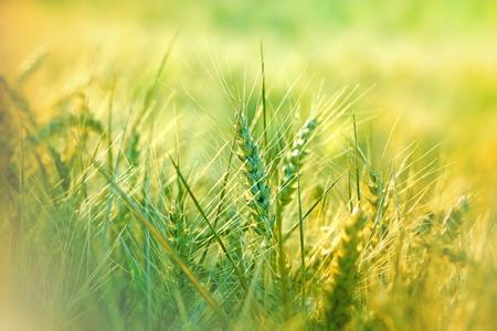 wheat field: Unripe wheat field Stock Photo