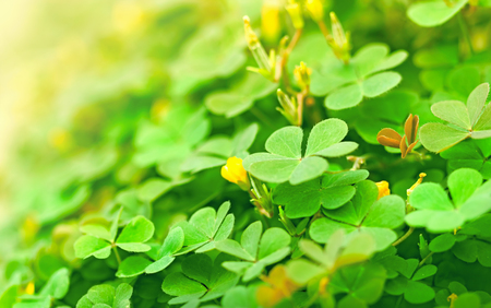 Green clover and little yellow flowers Stock Photo
