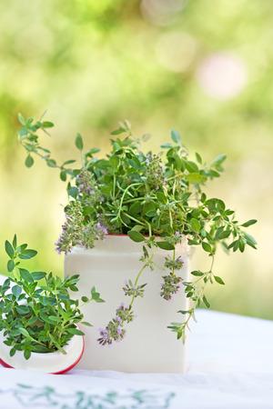 tomillo: Tomillo especia fresca - hierba Foto de archivo