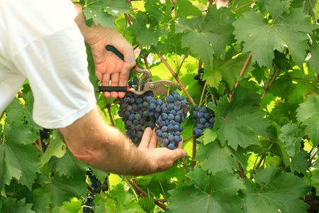 harvest time: Picking grapes - harvest time