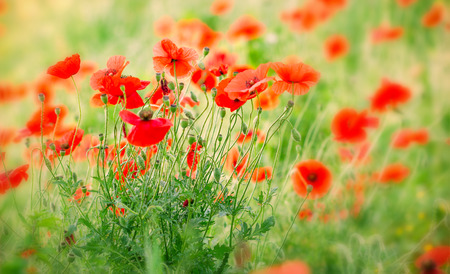 stalk flowers: Red poppy flowers in meadow
