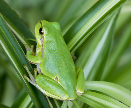 happines: Small green frog is hiddind in leaves