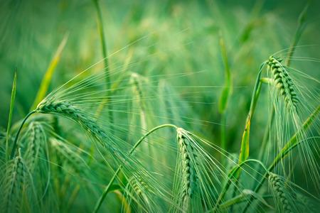 field crop: Green wheat - Beautiful crop field