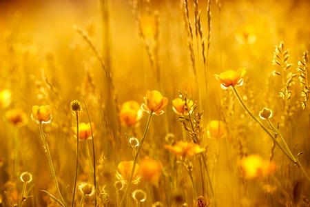 Raios do sol poente sobre flores do prado Flores- amarelo