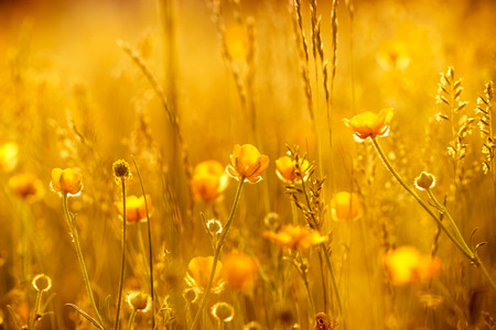 green meadow: Rays of the setting sun on yellow flowers- meadow flowers