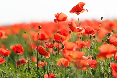 poppy flower: Poppy flower in the meadow wild poppy flower