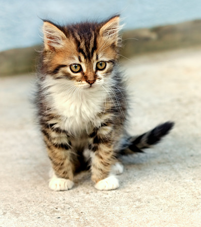 adroitness: Cute kitten - Maine Coon