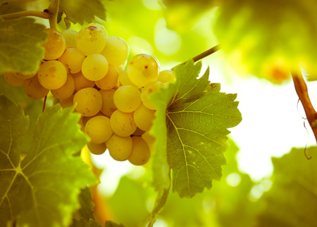 riesling: Green - white grape Riesling Stock Photo