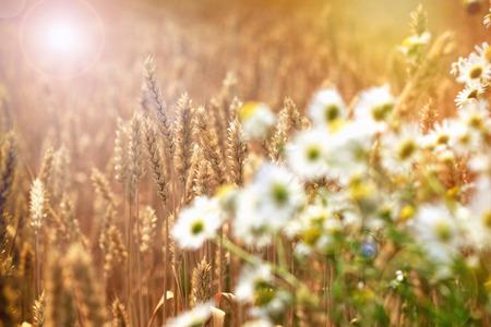 Hermoso campo de trigo en la tarde - víspera de pleno verano Foto de archivo