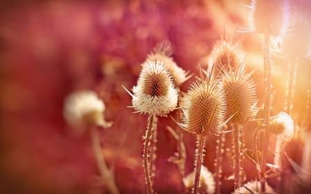 noxious: Thistle - dry burdock beautiful nature