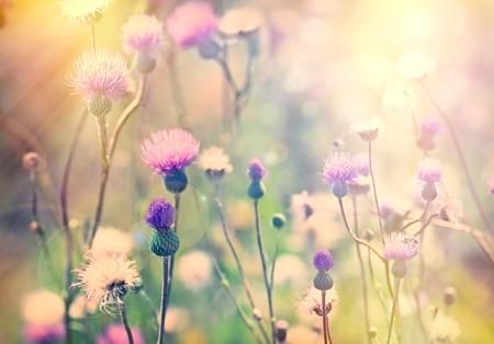 Цветение, цветущие чертополох - лопуха Фото со стока
