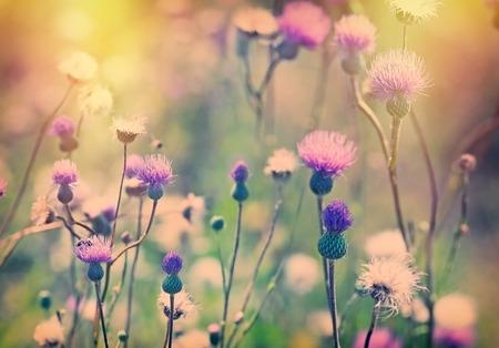 シスル ・ ゴボウの花が太陽の光に照らされて