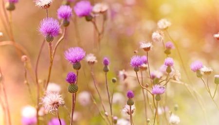 iluminado a contraluz: Flor de cardo - bardana iluminado por la luz de la puesta del sol