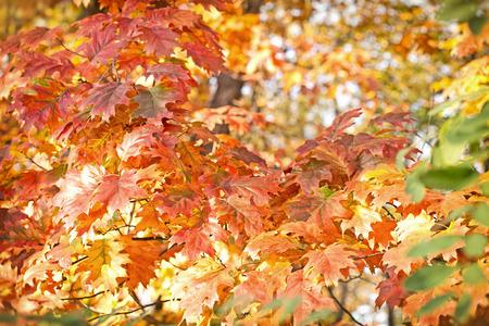 hojas de colores: Hojas de colores hermosos - hojas de roble Foto de archivo