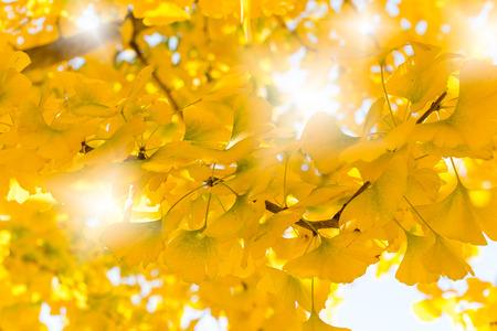 arrives: Ginkgo leaves - autumn arrives
