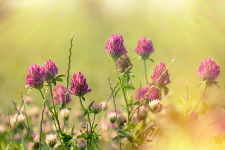 grass: Red clover in meadow lit by sunlight