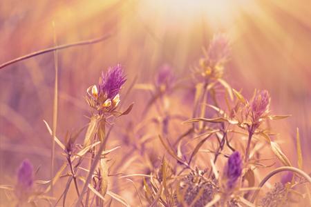 flowers sun: Purple meadow flowers illuminated by sun rays Stock Photo