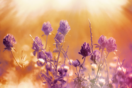 red clover: Flower of red clover illuminated by sun rays