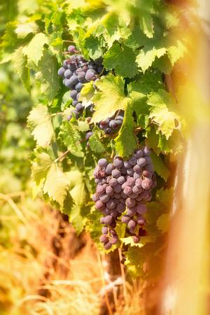 uvas vino: Uvas rojas - las uvas de vino