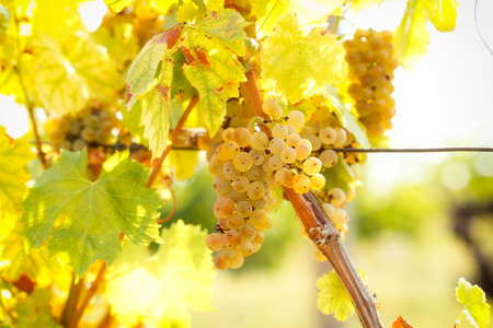 riesling: Wine grapes - grape Riesling
