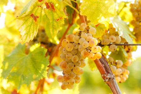 Grape Riesling auf Weinrebe in Weingarten