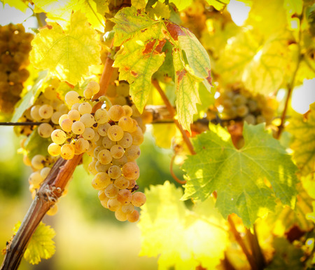riesling: Ripe grapes colors like gold - Riesling