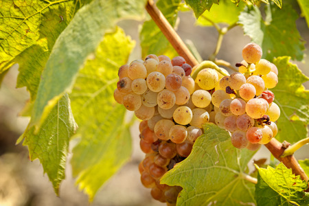 Riesling winogron Close-up
