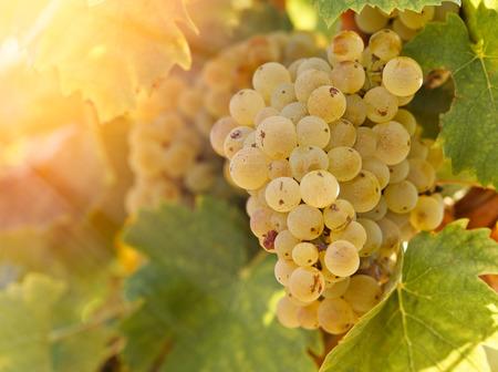 riesling: Grape Riesling in vineyard in late afternoon
