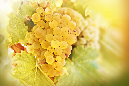 Grape Riesling lit by sun rays - sunbeams Stock Photo