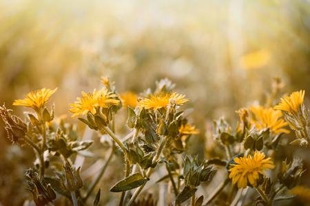 wild flower: Yellow meadow flowers - wild flower