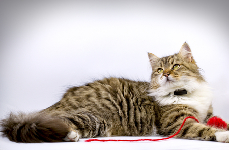 adroitness: Cat pet - Maine Coon laying and playing with ball of red wool