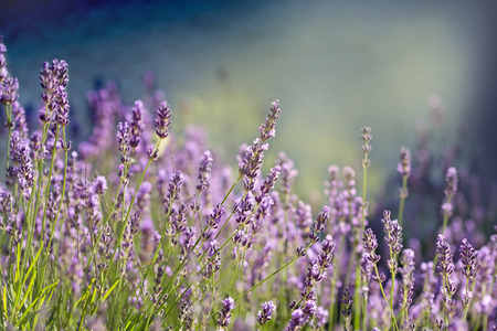 lavender: Lavender flower - Beautiful lavender flower lit by sunlight