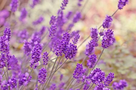 fiori di lavanda: Bella lavanda fiore