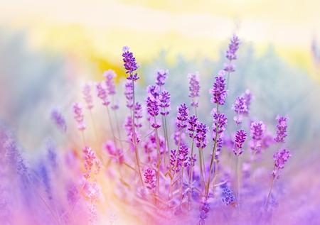 fiori di lavanda: Fiori di lavanda bagnata con la luce del sole Archivio Fotografico
