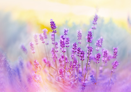 Lavender flower bathed with sunlight Stock Photo