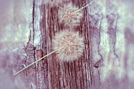 blowball: Dandelion seeds - fluffy blowball