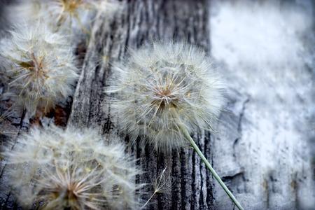 blowball: Beautiful dandelion seeds - fluffy blowball