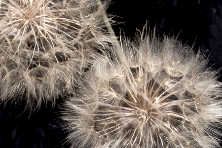 Dandelion seeds - fluffy blow ball close up
