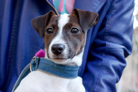 jack russell terrier: Dog Jack Russell - Terrier
