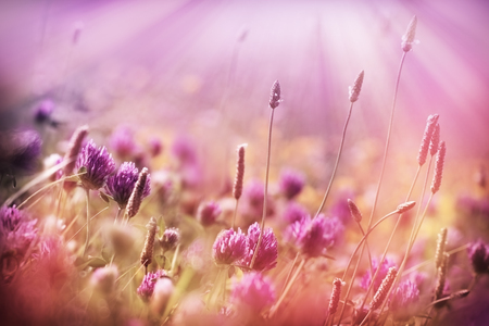 red clover: Meadow flowers - red clover Stock Photo