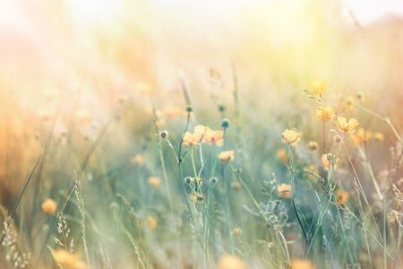 selective focus: Beautiful yellow meadow flowers lit by morning sunlight Stock Photo