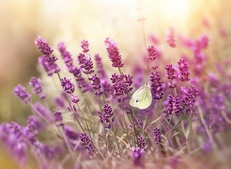 Farfalla bianca su lavanda Archivio Fotografico