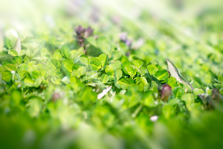 three leafed: Fresh clover in early spring Stock Photo
